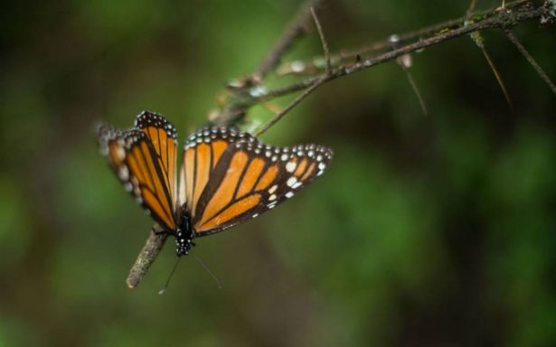 Mariposa monarca llega puntual a México para celebrar a los muertos