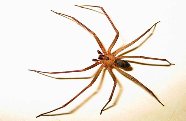 Hallan fósil de araña asesina, en ámbar