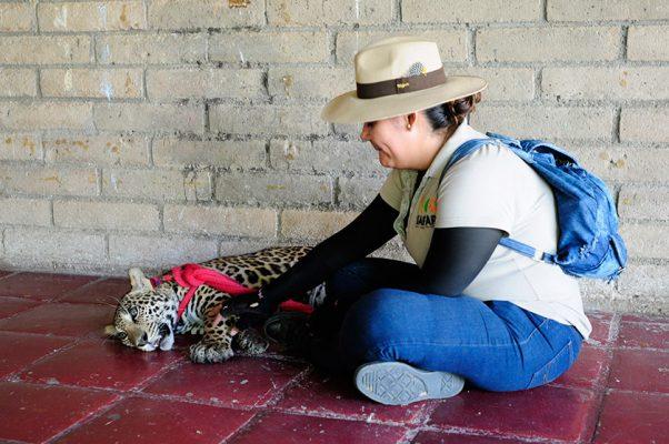 Baawe, jaguar de ocho meses,  crece en forma en Centro Ecológico
