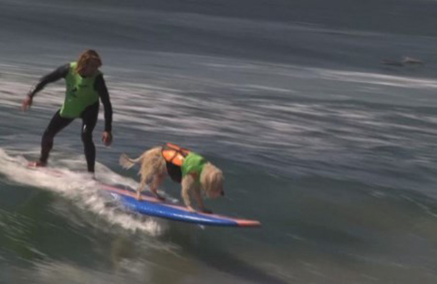 Perros nadadores participan en competencia de surf