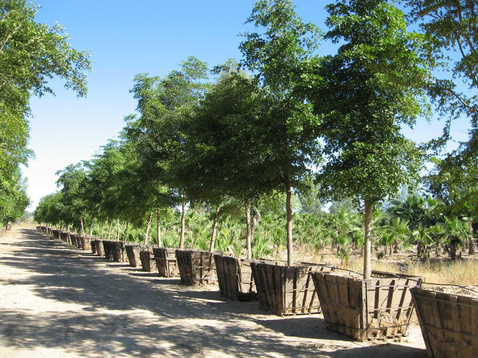 Rehabilitar n viveros de hermosillo for Arboles perennes para jardin