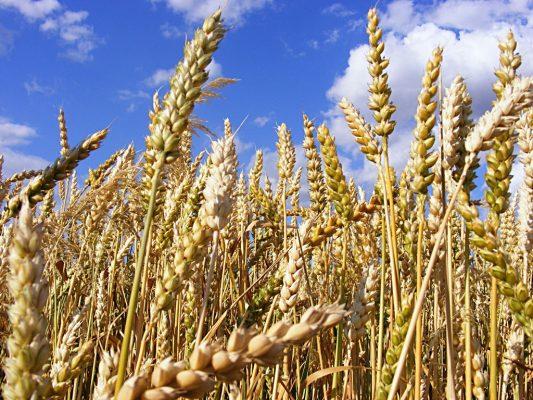 Inicia en Sonora cosecha del trigo