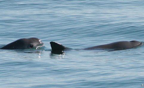 Sonora colaborará en conservación de vaquita marina