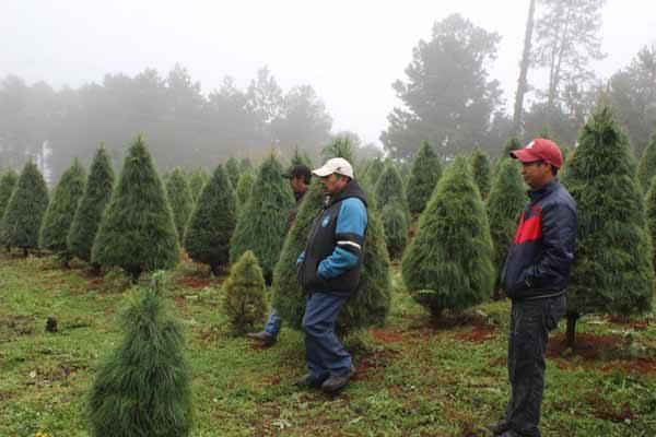 Llegarán a Sonora 50 mil pinos navideños provenientes de EU y Canadá
