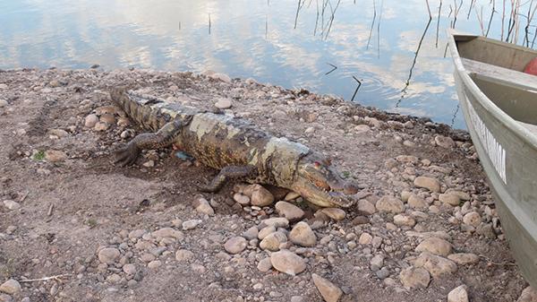 Cocodrilo en Navojoa es encontrado muerto