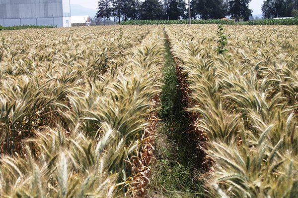 Inicia siembra de trigo para cosechar 1.3 millones de tonelada en Sonora