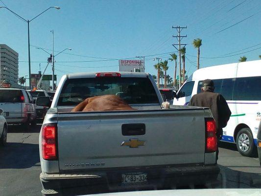 """Transportan a caballo """"dormido"""" en la caja de un pickup"""