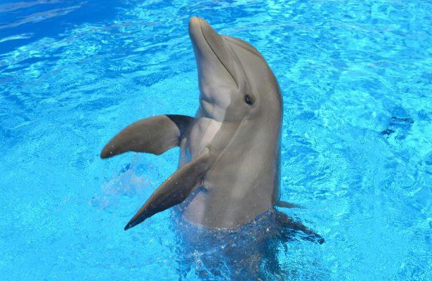 En gestación, Tana, hembra delfín del Delfinario Sonora