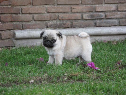 Hasta un cachorro pug roban de una vivienda en Las Lomas