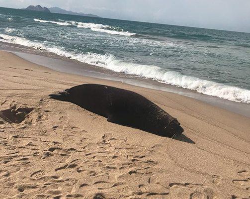 Encuentran muertos a delfín  y lobo marino en playa de Kino