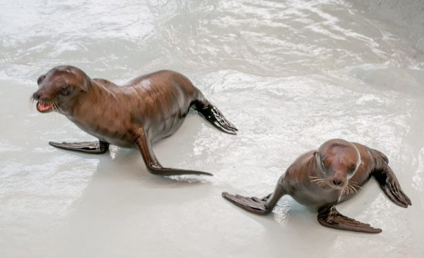 Lobos marinos presentan un buen estado de salud