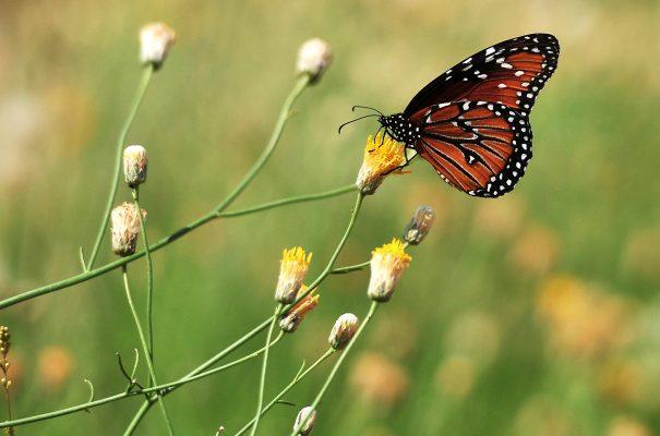 [Galería] Toman mariposas monarca descanso en Hermosillo