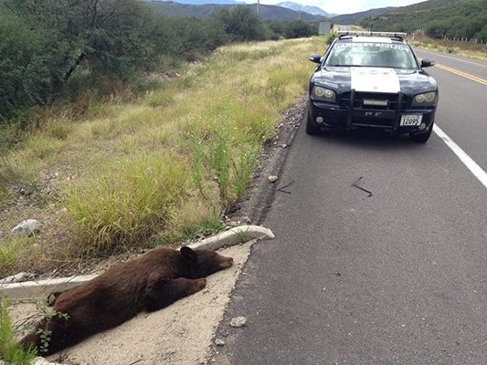 Oso sufre un fatal accidente carretero