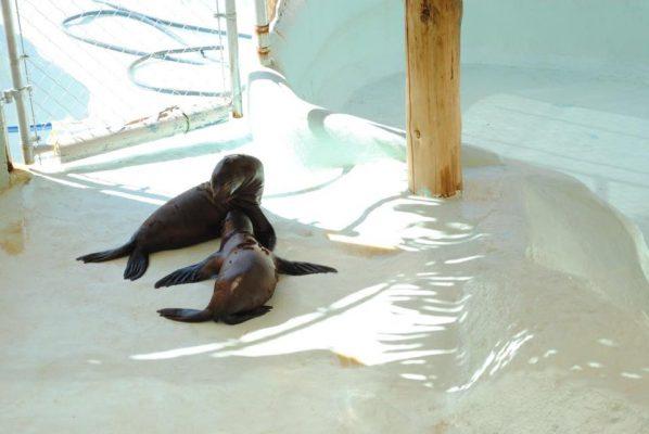 [Galeria] Sin agua tienen a los lobos marinos en el Centro Ecológico