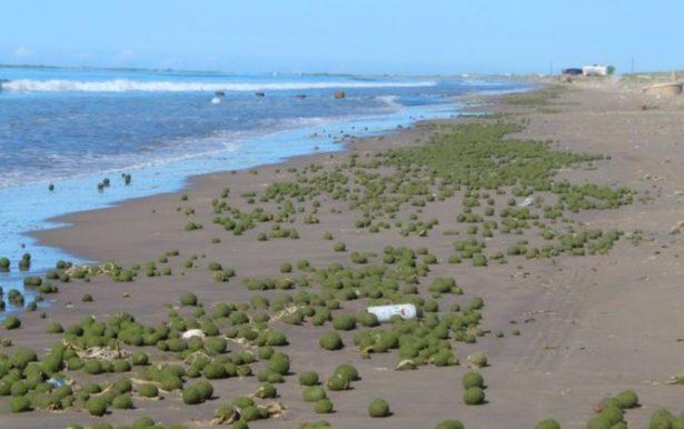 Extrañas bolas verdes aparecen en playas de Huatabampito