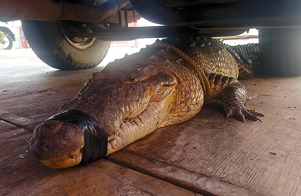 Regresan a su hábitat a gigantesco cocodrilo