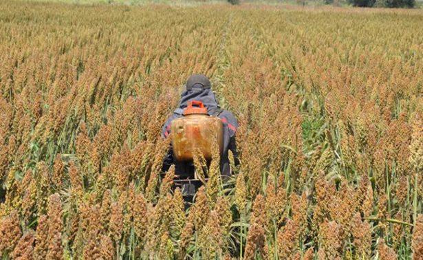 Cae producción de sorgo en Irapuato