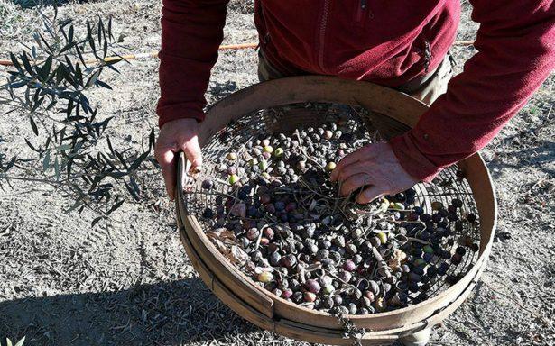 Una historia milenaria, aceite de oliva