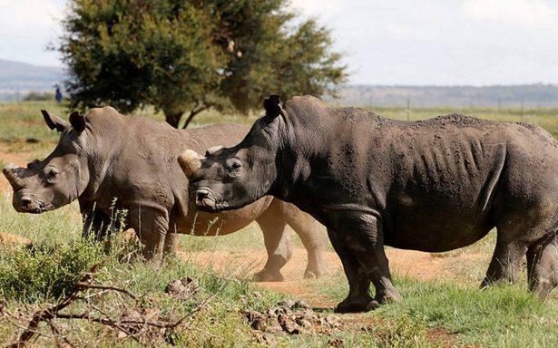 ¡Justicia! Condenan a irlandés en EU por traficar cuerno de rinoceronte