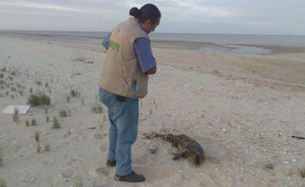 #Video Localizan otra vaquita marina muerta en Baja California
