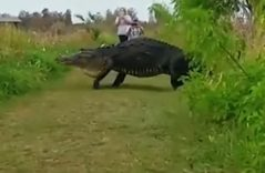 #Video ¿Es Godzilla? Aparece enorme cocodrilo cruzando un sendero en EU