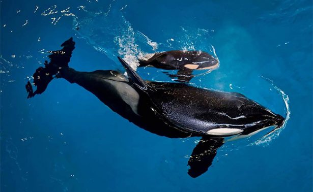Nace en Estados Unidos la última orca en cautiverio de SeaWorld