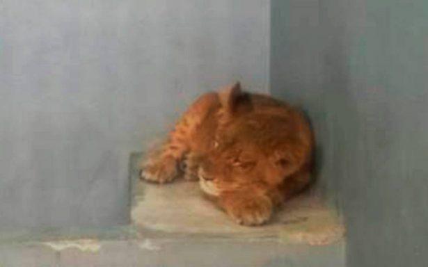 [Video] Los detienen por exceso de velocidad y descubren que viajaba ¡con una leona!