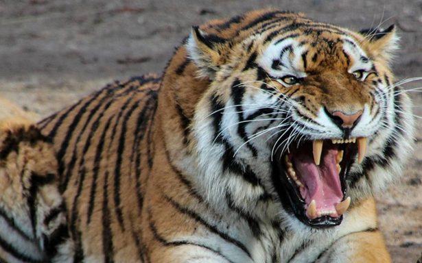 Tigre le arranca los brazos en brutal ataque a hombre en Guatemala