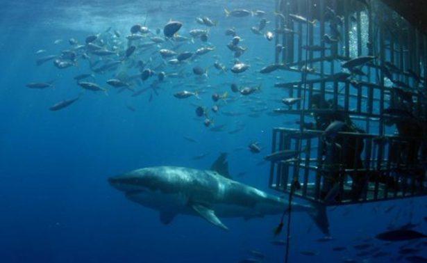 Registra Isla Guadalupe a 274 tiburones blancos