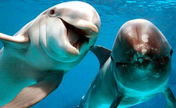 """Para salvar a vaquita marina, delfines harán labores de """"pastoreo"""""""