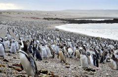 Llegan a aparearse más de un millón de pingüinos a Argentina