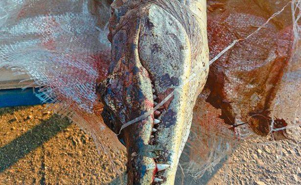 Traficantes de animales abandonan a dos cocodrilos muertos