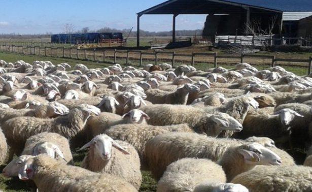 Gobierno de México invierte 900 millones de pesos en producción ovina y caprina