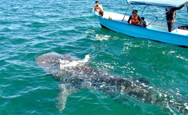 Protegerán al  tiburón ballena