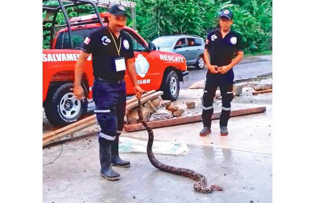 Capturan a una boa constrictor