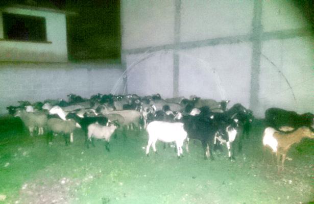 Hurtan ovinos; los recuperan