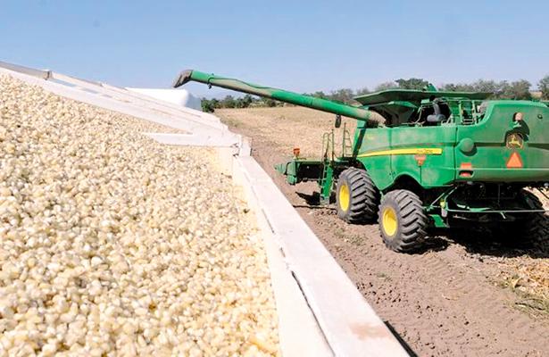 Productores venderán 8 mil toneladas de maíz