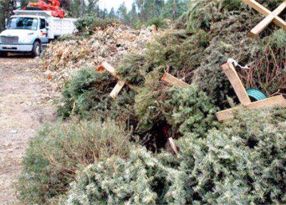 Reciclarán árboles de ornato navideño