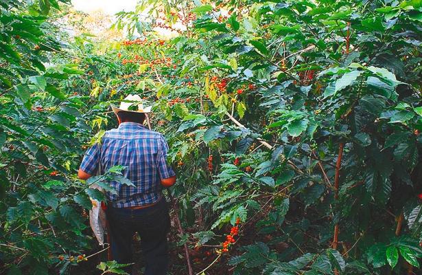 Cafetaleros afrontan naturaleza y precios en la Otomí-Tepehua