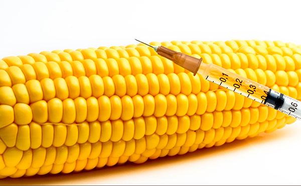 Se consume maíz transgénico