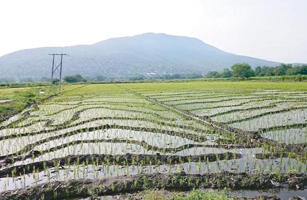 Cultivos de arroz y ganadería contaminan con gas metano