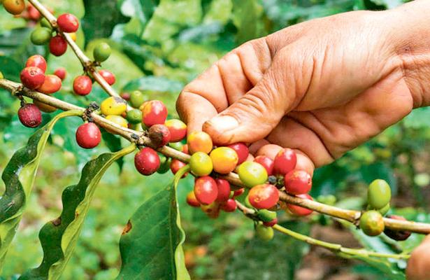 Urge plan de precios compensatorios del café
