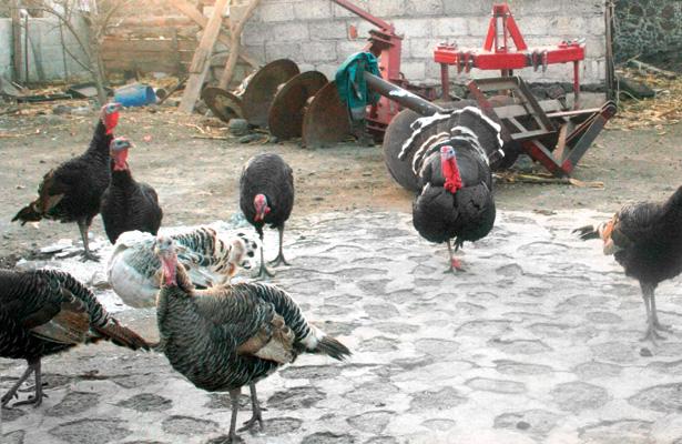 Aves de corral  en engorda; subirá su consumo por clausuras escolares