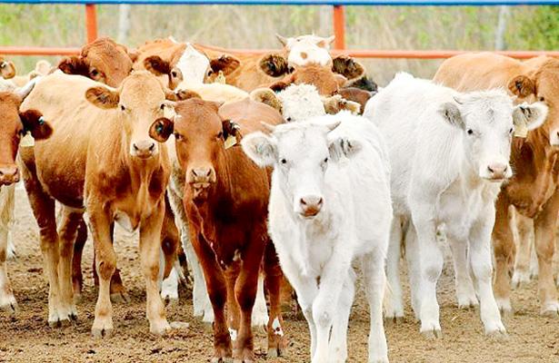 Introductores y tablajeros celebran exportación de ganado