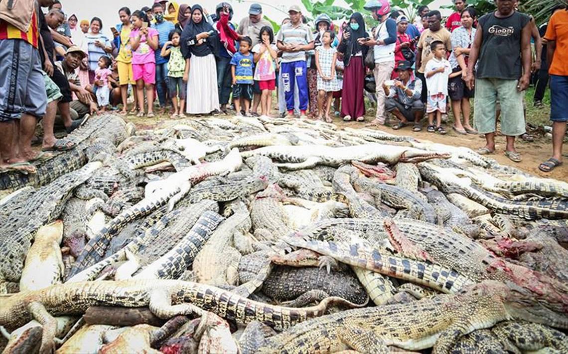 Cruel venganza: matan a 292 cocodrilos porque uno atacó a un hombre en Indonesia