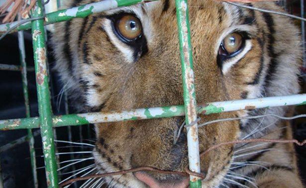 Procuraduría ambiental asegura un tigre en Tijuana