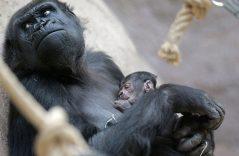 ¡No es broma! Primates podrían desaparecer del planeta en 50 años