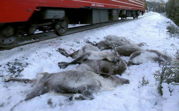 Invierno rojo en Noruega. Cientos de renos mueren atropellados por trenes