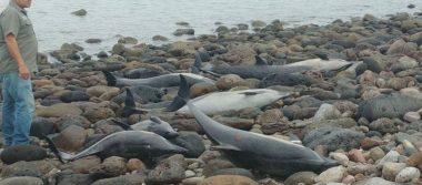 Hipótesis revela que delfines varados intentaban huir de otra especie
