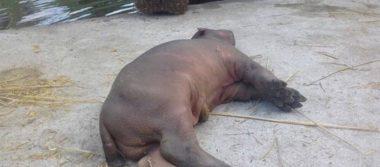 Profepa verifica causa de muerte de hipopótamo bebé en Acapulco